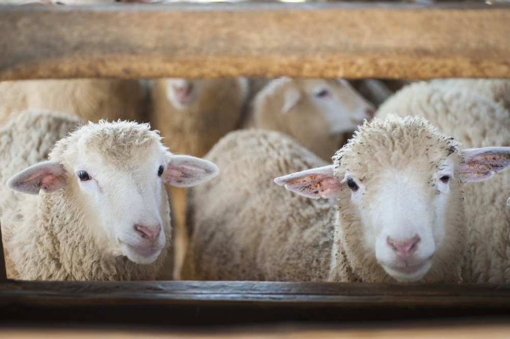 Sheep Mineral Supplements